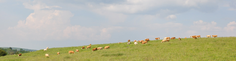 Herd of simmental cows