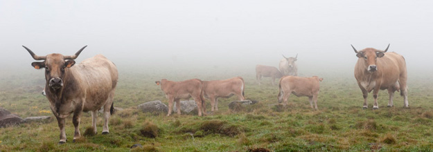 Aubrac cows, now raised primarily for meat